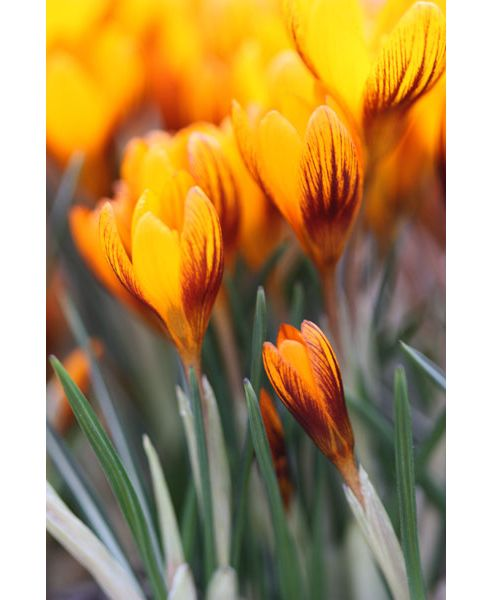 species crocus bulbs (Crocus chrysanthus 'Zwanenburg Bronze')