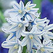 Russian Snowdrop - 100 bulbs
