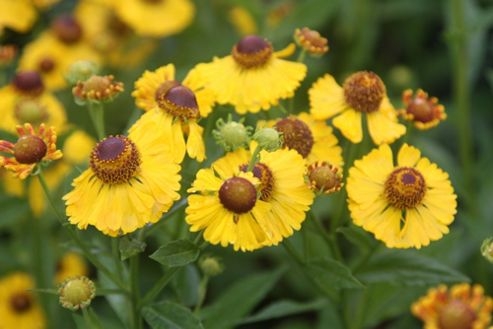 sneezeweed (Helenium 'The Bishop')
