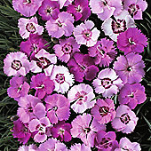 Dianthus plumarius 'Ipswich Pinks Mixed' - 1 packet (75 seeds)