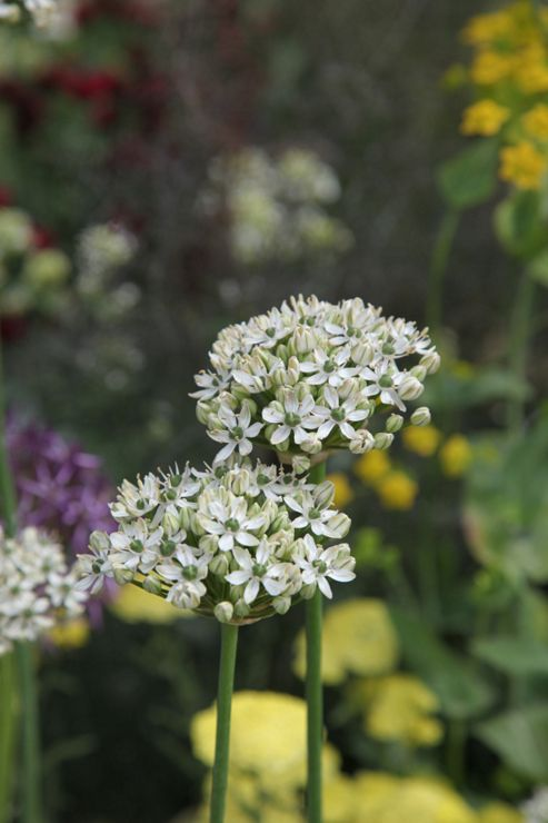 ornamental onion bulbs (Allium nigrum)