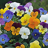 Viola x williamsiana 'Floral Powers Mixed' F1 Hybrid - 1 packet (25 seeds)