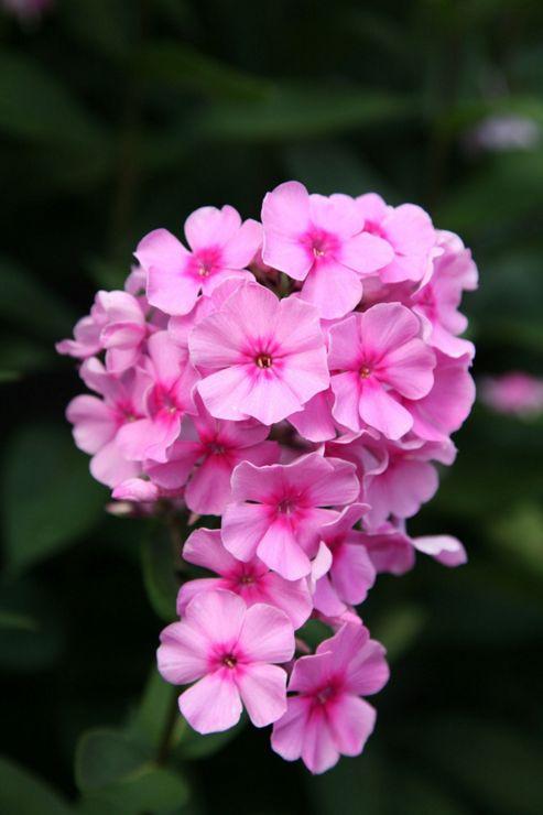 perennial phlox (Phlox paniculata 'Eva Cullum')