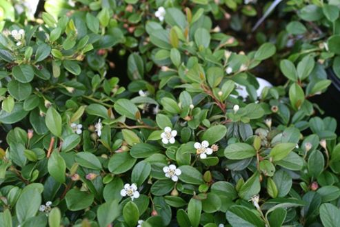 cotoneaster (Cotoneaster dammeri)