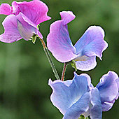 Sweet Pea 'Blue Shift' - 1 packet (25 seeds)