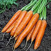 Carrot 'Maestro' F1 Hybrid - Part of the Alan Titchmarsh Collection - 1 packet (400 carrot seeds)