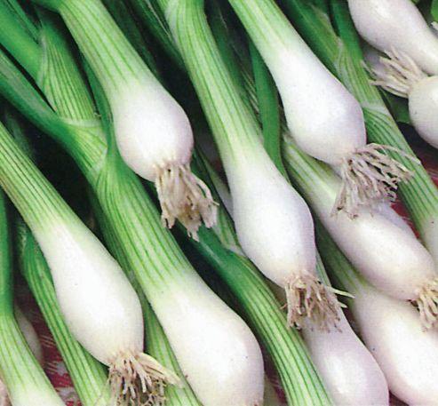 spring onion (spring onion 'White Lisbon')