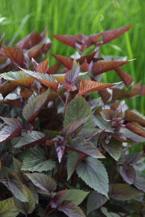 argeratina (Ageratina altissima 'Chocolate')