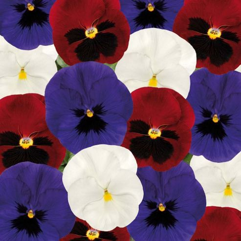 Pansy 'Matrix Union Jack Mixed' - 72 plugs
