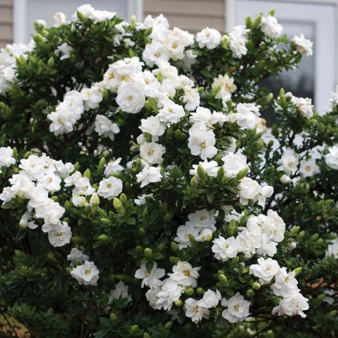 Gardenia 'Crown Jewels' - Part of the Alan Titchmarsh Collection - 1 x 9cm potted plant
