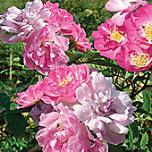 Rose multiflora nana perpetua 'Garden Party' - 1 packet (20 seeds)