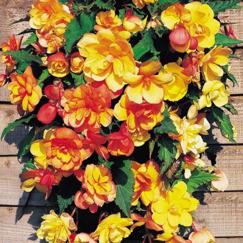 Begonia x tuberhybrida 'Apricot Shades' F1 Hybrid - 10 tubers