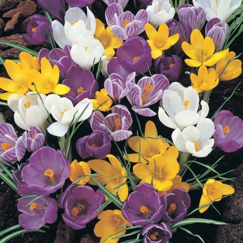 Crocus Mixed - 100 bulbs