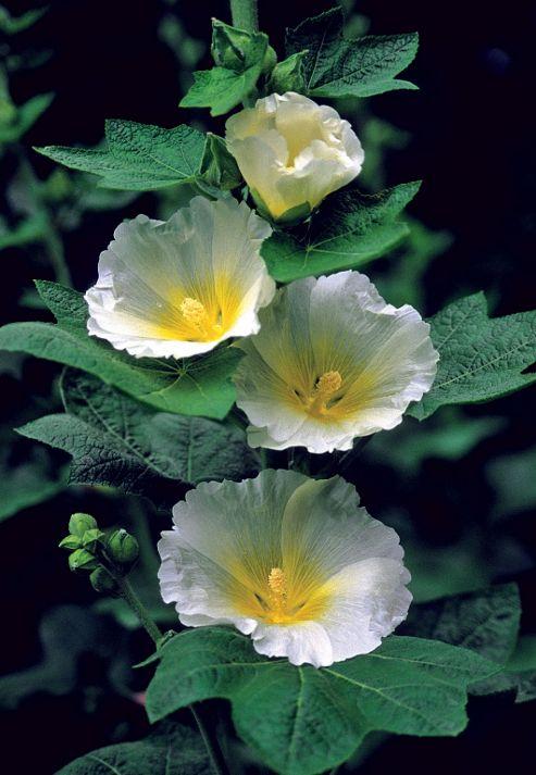 hollyhock (Alcea rosea 'Polarstar')