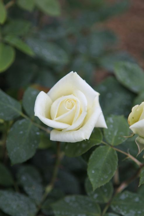 rose Polar Star (hybrid tea) (Rosa Polar Star ('Tanlarpost') (PBR))