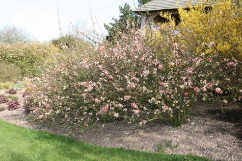 flowering quince (Chaenomeles speciosa 'Geisha Girl')