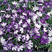 Lobelia erinus 'Blue Splash' - 1 packet (1000 seeds)