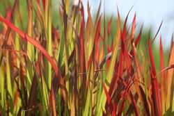 Japanese blood grass (Imperata cylindrica 'Rubra')