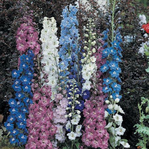 Delphinium 'New Zealand Hybrids' - 5 plants in 5cm pots