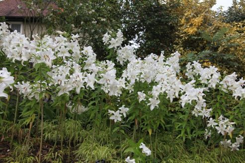 oriental lily bulb (Lilium 'Casa Blanca')