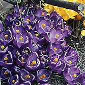30 x Crocus 'Flower Record' Bulbs - Perennial Spring Flowers (Corms)