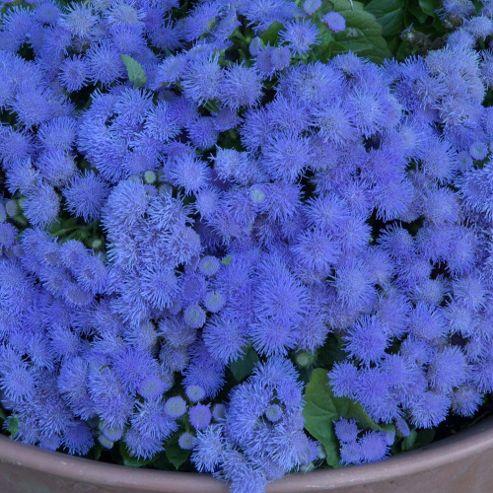 Ageratum houstonianum 'Blue Danube' - 72 plugs