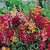 Antirrhinum nanum 'Frosted Flames' - 1 packet (60 seeds)