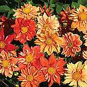 Dahlia variabilis 'Sunny Reggae' - 1 packet (40 seeds)