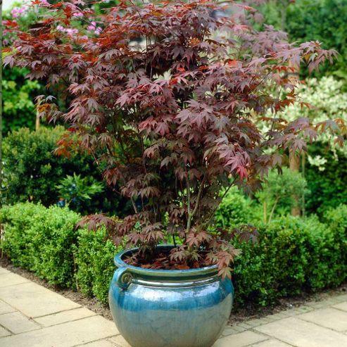 buy acer palmatum 39 atropurpureum 39 1 plant in 9cm pot. Black Bedroom Furniture Sets. Home Design Ideas