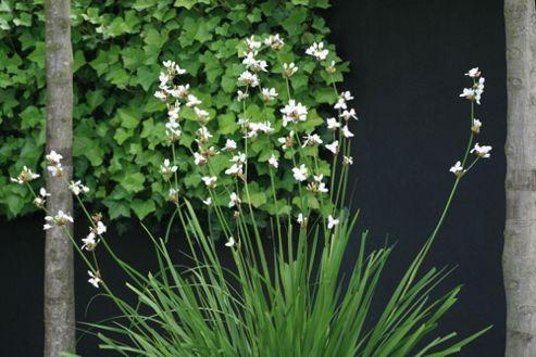 libertia (Libertia grandiflora)