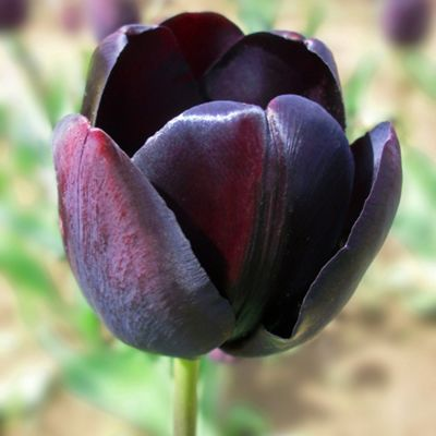 10 x Tulip 'Queen of Night' Bulbs - Perennial Spring Flowers
