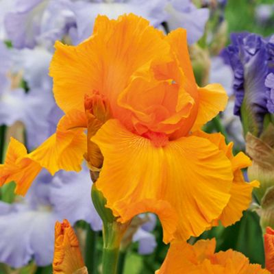 Iris 'Orange Harvest' (Re-Blooming) - 1 rhizome