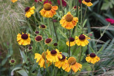 sneezeweed (Helenium 'Wyndley')