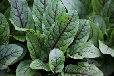 Salad leaves red-veined sorrel (sorrel red veined)