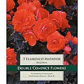 3 x Begonia 'Flamenco Matador' - Perennial Red Summer Flowers (Tubers)