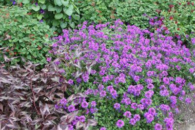 vervain (Verbena 'Homestead Purple')