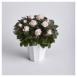 Pink Rose in Ceramic Pot