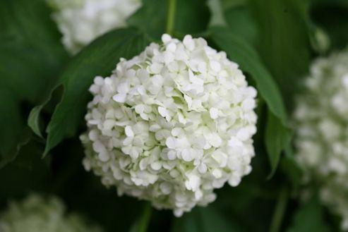 snowball tree (syn. Sterile) (Viburnum opulus 'Roseum')