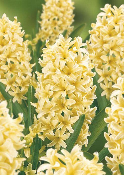 Hyacinth City of Haarlem - 7 Bulbs