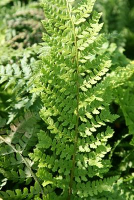 soft shield fern (Polystichum setiferum 'Plumosomultilobum')