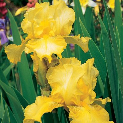 Iris 'Buckwheat' (Re-Blooming) - 1 rhizome