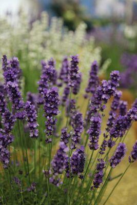 lavender Hidcote promotion - 6 pack (Lavandula angustifolia 'Hidcote')