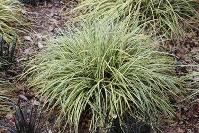 sedge (Carex oshimensis 'Evergold')