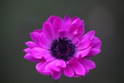 windflower bulbs (Anemone coronaria (Saint Bridgid Group) 'The Admiral')