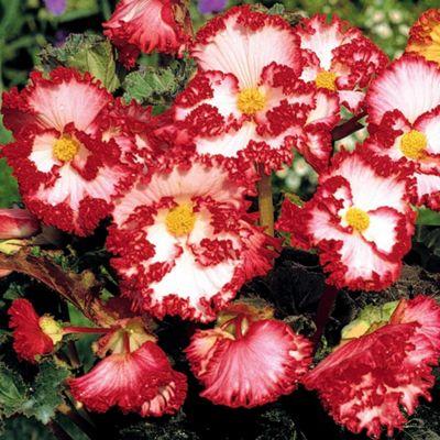6 x Begonia 'Marginata Crispa White' - Perennial Summer Flowers (Tubers)