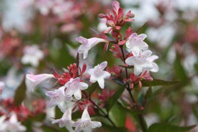 abelia (Abelia ? grandiflora)