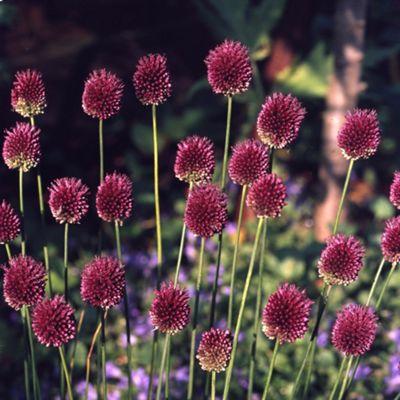 60 x Allium Sphaerocephalon Bulbs - Perennial Spring Flowers
