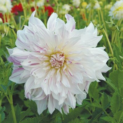 1x Dinner Plate Dahlia 'Mom's Special' Summer Flowering Bulb