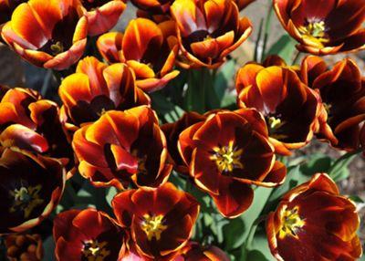 triumph tulip bulbs (Tulipa 'Abu Hassan')