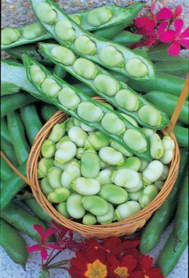broad bean (broad bean 'Masterpiece Green Longpod')